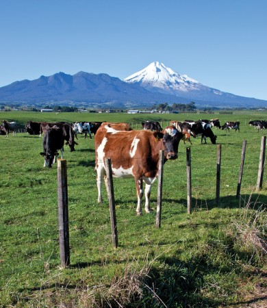 New Zealand's dairy industry has been diversifying since the 1970s (Image: Dave Young/Flickr)