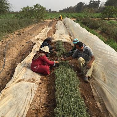 Farmers planting rosemary at Sekem, in Egypt