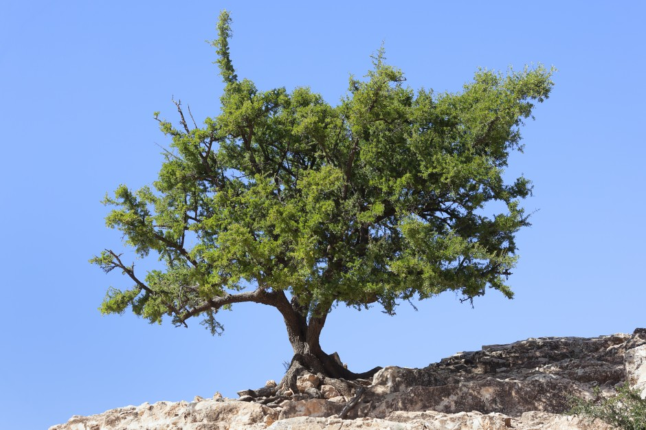 The argan tree thrives in southwestern Morocco