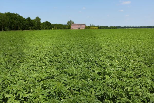 Hemp is a non-psychoactive variety of cannabis that can be grown legally in some countries.
