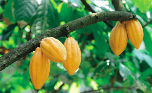 FSG works with cocoa farmers in Ivory Coast where 40% of the world's cocoa is grown by 900,000 smallholder farmers, whose primary means of organising is the co-op model