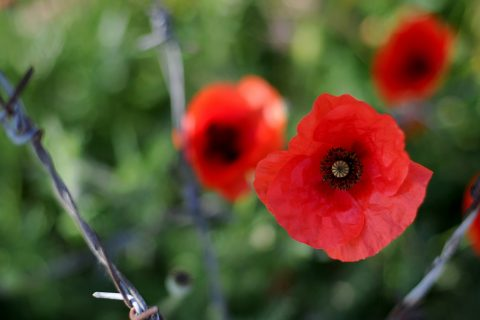 Red poppies are the symbol of war remembrance