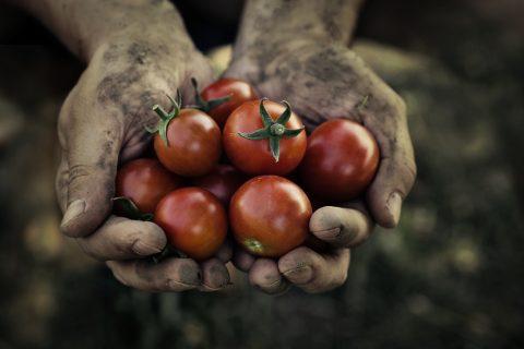 Harvest picking