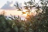 Olive trees on sunset. Sun rays