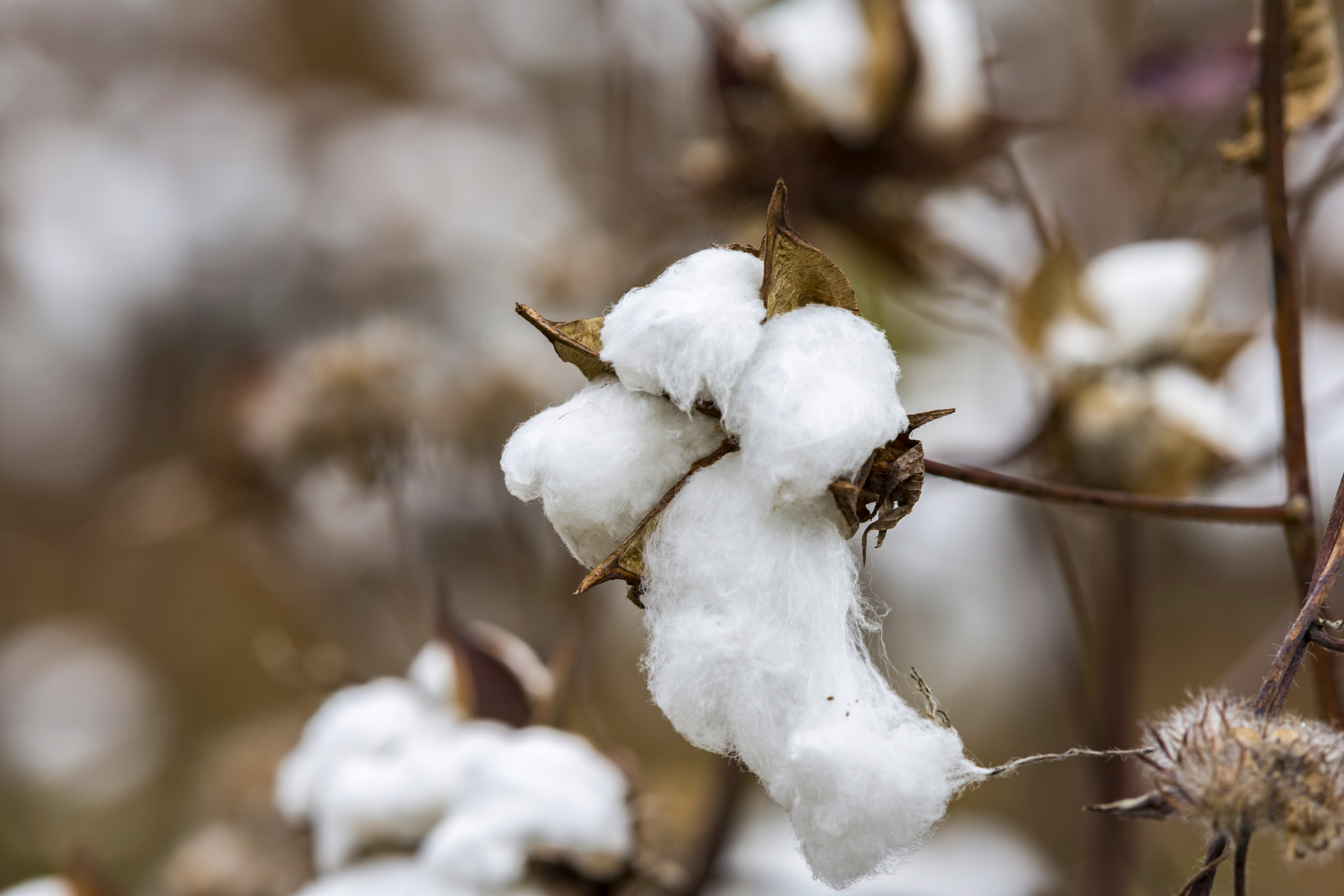 Ripe cotton boll: FCC warehouses and delivers around 35% of the cotton ginned in Texas