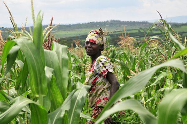 A farmer in a maize field in Nyagatare, in Rwanda's Eastern Province [photo: Neil Palmer (CIAT) / Flickr]