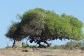 umbu tree in Brazil