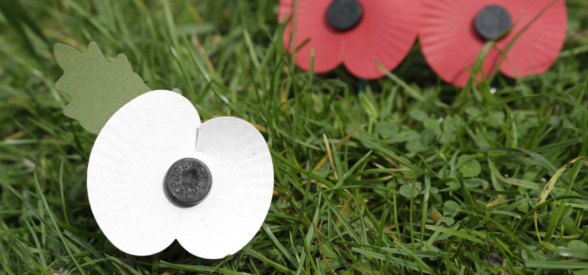 Distribution of white poppies in schools causes controversy - Co-operative News