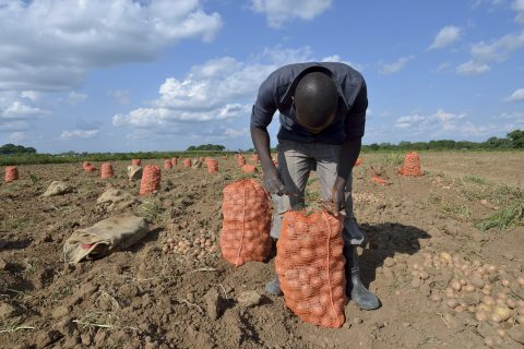 A farmer in Shigyanga, Zambia packs up potatoes. The government is encouraging co-ops to develop across all sectors, including agriculture.